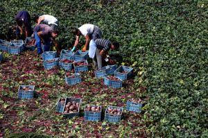 http://www.nachrichten.at/nachrichten/wirtschaft/Der-Markt-ist-tot-Bauern-vernichten-600-Tonnen-Kraut-Aepfel-verfaulen;art15,1497801